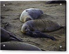 Elephant Seal Mom And Pup Acrylic Print