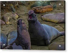 Elephant Seals Fighting On The Beach Acrylic Print by Garry Gay