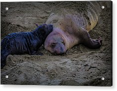 Elephant Seals Mom And Pup Acrylic Print by Garry Gay