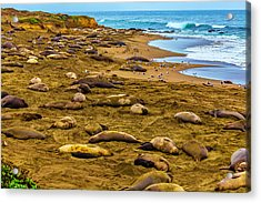 Elephant Seals Near Cambria  Acrylic Print by Garry Gay