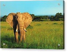 Elephant Acrylic Print by Sebastian Musial
