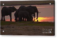 Elephant Sunset Acrylic Print