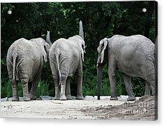 Elephant Trio Acrylic Print by Karol Livote