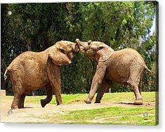Elephants At Play 2 Acrylic Print