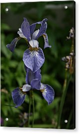 Elevated Iris Acrylic Print by Alan Rutherford