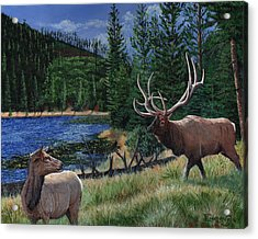 Elk At Beaver Lake  Yellowstone Acrylic Print