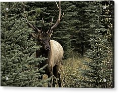 Acrylic Print featuring the photograph Elk Bull by John Gilbert