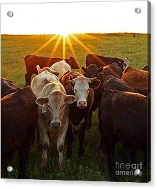 Elk County Herd Acrylic Print