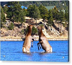 Elk In Lake Estes Acrylic Print