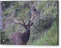 Bull Elk Rmnp Co Acrylic Print