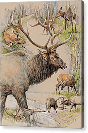 Elk Lifescape Acrylic Print by Steve Spencer