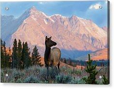 Elk Majesty Acrylic Print