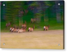 Elk On The Run Acrylic Print