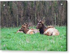 Acrylic Print featuring the photograph Elk Relaxing by Paul Freidlund