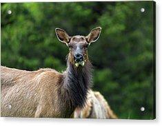 Elk Staring Closeup Portrait Acrylic Print