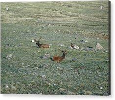 Elk Trio Acrylic Print by Kelly Miller