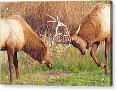 Acrylic Print featuring the photograph Elk Tussle Too by Todd Kreuter