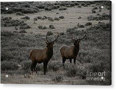 Elk Watching People Acrylic Print by Robert Torkomian
