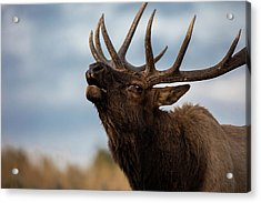 Elk's Screem Acrylic Print by Edgars Erglis