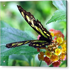 Elusive Butterfly Acrylic Print