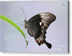 Emerald Peacock Swallowtail Butterfly V2 Acrylic Print
