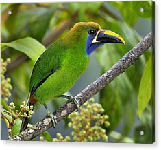 Emerald Toucanet Acrylic Print by Tony Beck