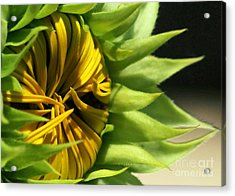 Emerging Sunflower Acrylic Print by Sabrina L Ryan