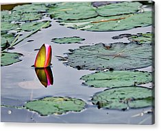 Emerging Water Lily Acrylic Print
