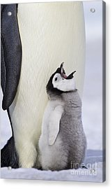 Emperor Penguin And Hungry Chick Acrylic Print by Jean-Louis Klein & Marie-Luce Hubert
