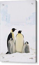 Emperor Penguin Aptenodytes Forsteri Acrylic Print by Konrad Wothe
