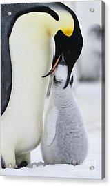 Emperor Penguin Feeding Chick Acrylic Print by Jean-Louis Klein & Marie-Luce Hubert