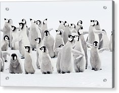 Emperor Penguins, Group Of Chicks. Acrylic Print by Martin Ruegner