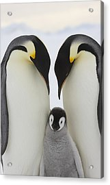 Emperor Penguins With Young Chick Acrylic Print by Sue Flood