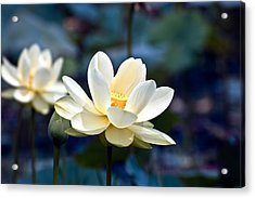 Enchanting Lotus Acrylic Print by Rich Leighton