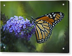 Acrylic Print featuring the photograph Enchanting Monarch by Elsa Marie Santoro