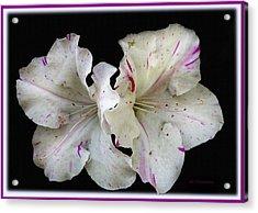 Encore Azaleas Acrylic Print