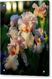End Of Day Pink Irises 6702 H_2 Acrylic Print