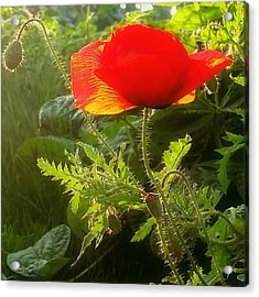 Red Poppy At Sunset Acrylic Print