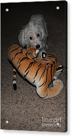 Endangered Tiger 2 Acrylic Print by Anne Rodkin
