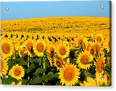 Endless Sunflowers Acrylic Print by Catherine Sherman