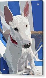 English Bull Terrier Acrylic Print