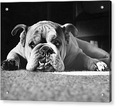 English Bulldog Acrylic Print by M E Browning and Photo Researchers