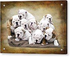 English Bulldog Pups Acrylic Print