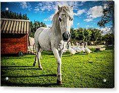 English Gypsy Horse Acrylic Print