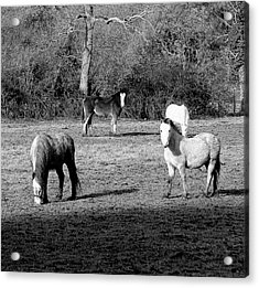 English Horses Acrylic Print