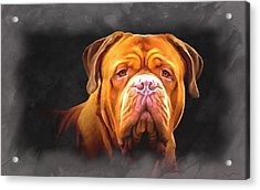English Mastiff Acrylic Print