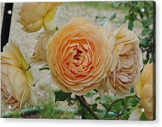 English Rose Apricot Crown Princess Margareta 2 Acrylic Print by Robyn Stacey