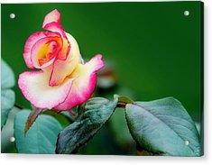 English Rose Acrylic Print by Lisa Knechtel