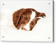 English Springer Spaniel Puppy Sleeping On Fur Acrylic Print