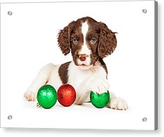 English Springer Spaniel Puppy With Christmas Baubles Acrylic Print